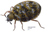 carpet_beetle
