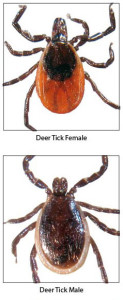 deer_ticks