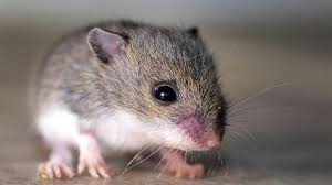 Mice and Children's Asthma |B&B Pest Control