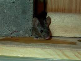 Keep Your Home Rodent Free With These Tips