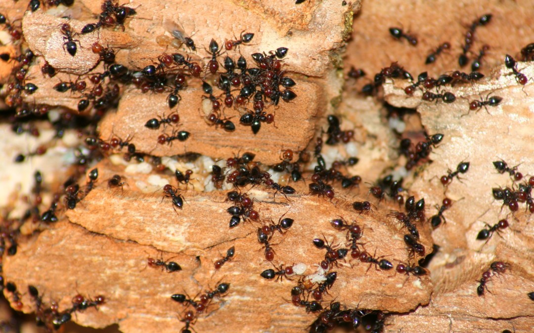 Acrobat Ants: The Insect Pest That You Have Never Heard Of