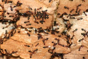 Boston Ant Removal