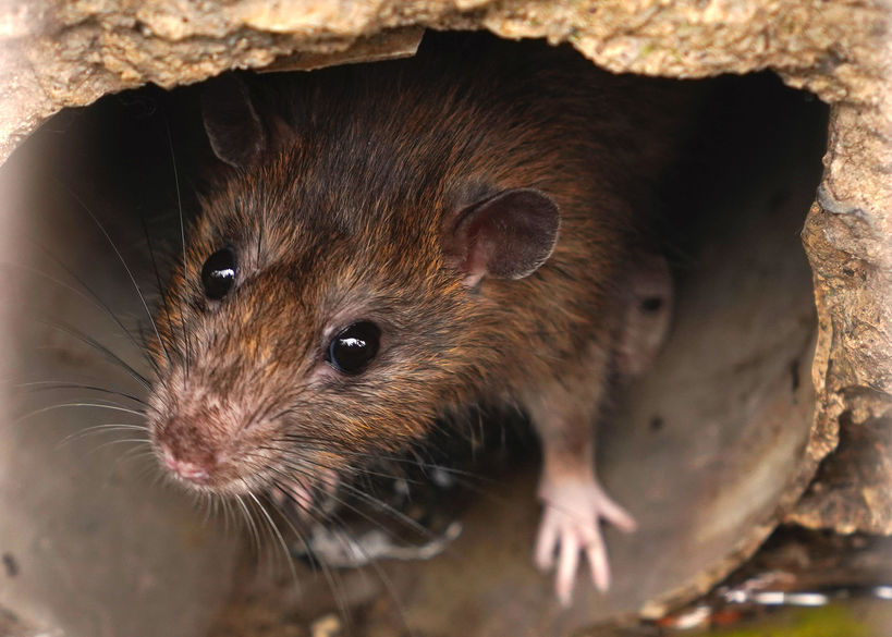 What's up With House Mice in Attics