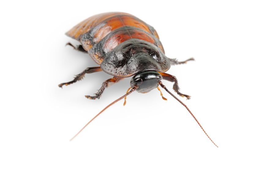 "Why Do Some Cockroach Species Make A ""Hissing"" Sound?"