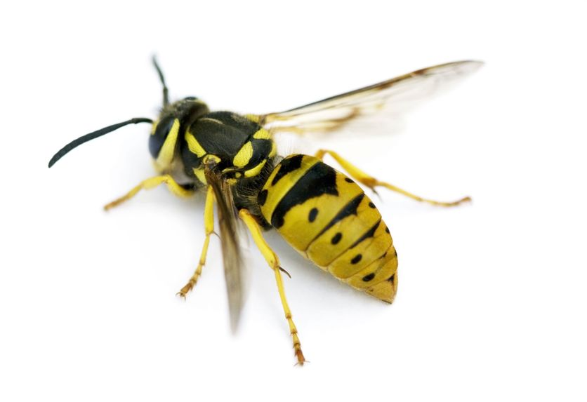 Wasps That Use The Bodies Of Dead Ants To Seal Their Offspring Within Abandon Nests