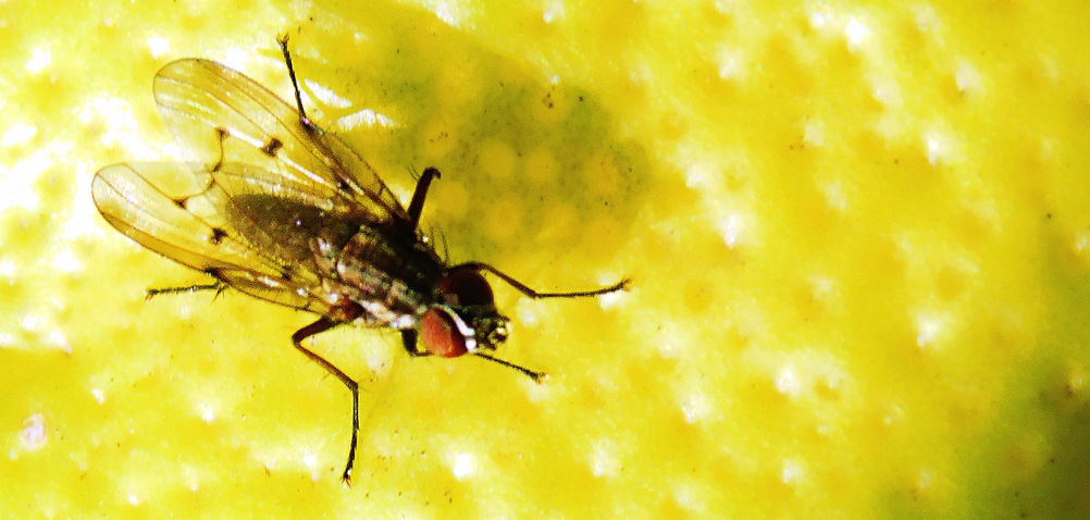 The Aggressive Deer Fly Can Inflict Painful Bites On Humans Repeatedly, Possibly Leading To Infection