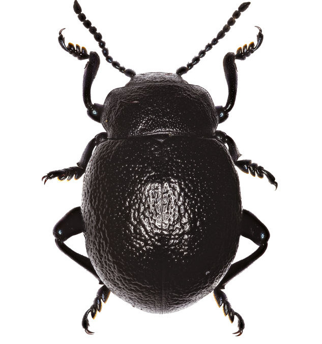 The Bloody-Nosed Beetle Deters Predators By Bleeding On Reflex