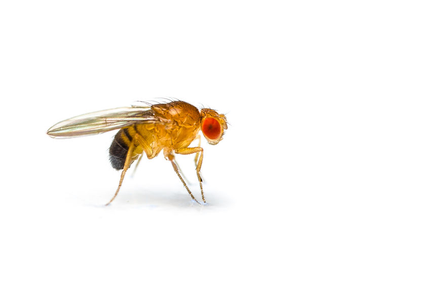 Vinegar Flies Are Common Household Insect Pests That Are Small Enough To Fit Through Window Screen