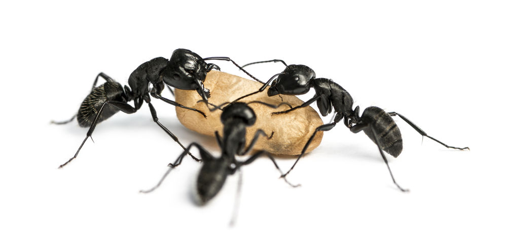 How Are Some Ants Able To Make Off With Sizable Bits Of Food From The Kitchen Cupboards?