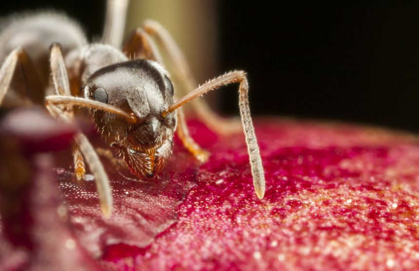 How Several Of The Most Common Household Ant Pests Can Make Residents Sick