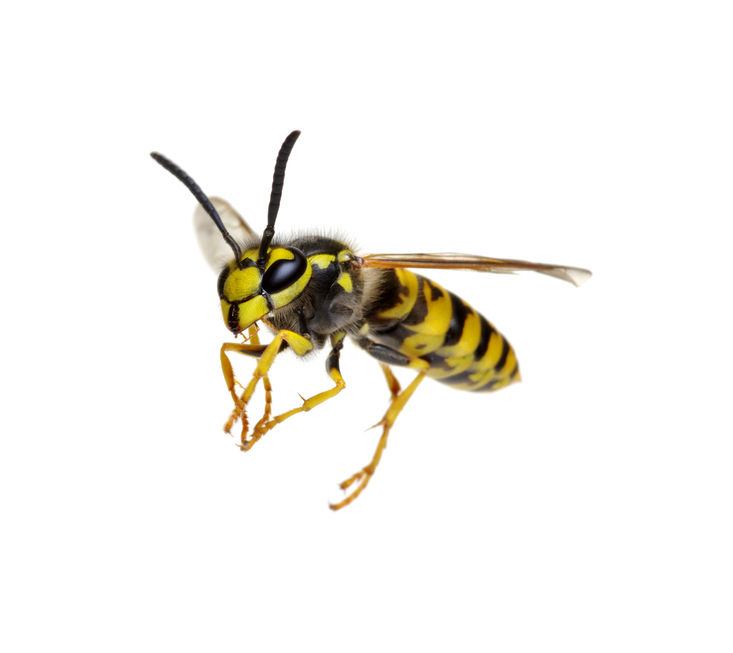 How Often Do Solitary Wasps And Bees That Are Considered Urban Pests Sting Humans?